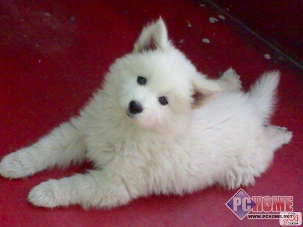 可爱狗狗 萨摩耶犬图片壁纸