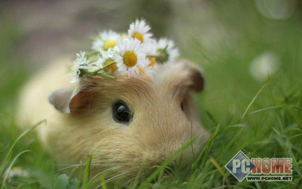 可爱小豚鼠宽屏壁纸